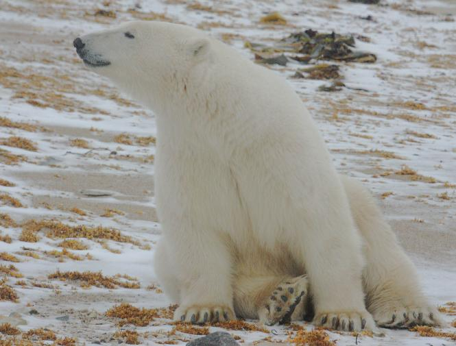 Polar bear smiling - photo#14